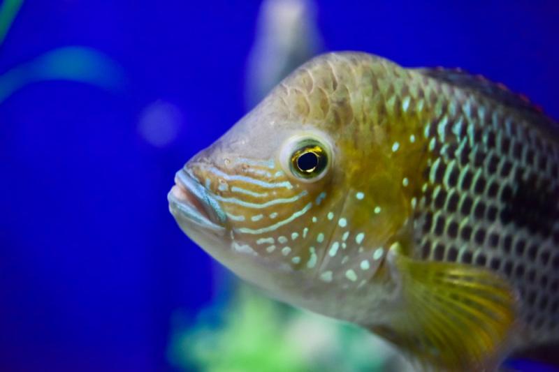 红尾皇冠鱼