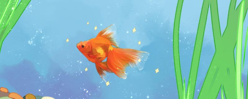 金鱼怎么分公母,公母能一起养吗