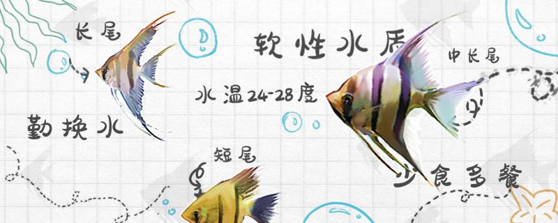 神仙鱼怎么养不会死,神仙鱼的正确养法