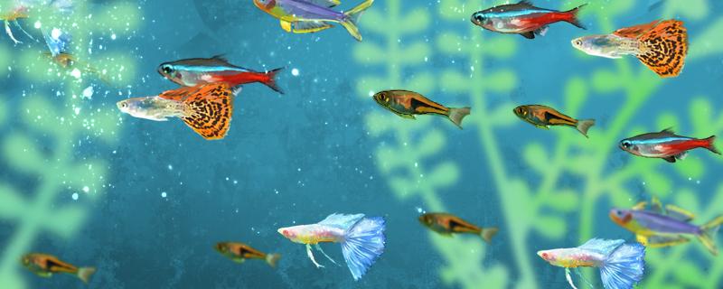 孔雀鱼怎么养,和什么鱼混养好