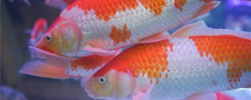 锦鲤可以和什么鱼混养,能和热带鱼混养吗