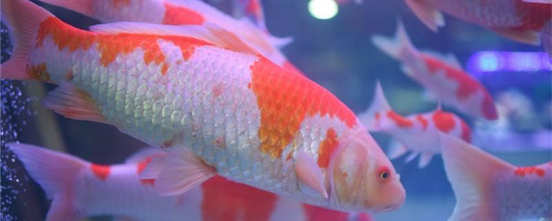 锦鲤在鱼缸里能繁殖吗,繁殖需要产卵池吗