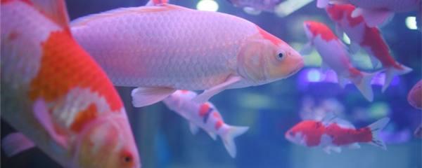 鱼缸内锦鲤能繁殖吗,怎么才能繁殖