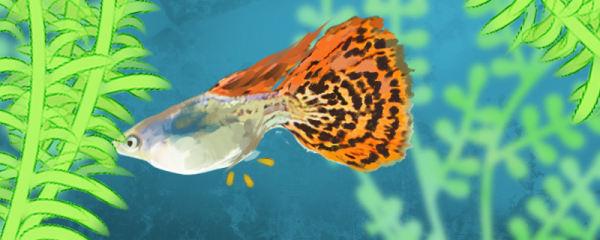 孔雀鱼怀孕特征,怀孕后多久会生小鱼