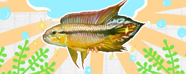 阿卡西短鲷繁殖方法,幼鱼怎么开食