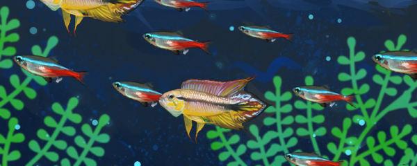 阿卡西短鲷和灯鱼混养,混养要注意什么