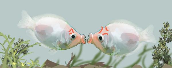 接吻鱼为什么会接吻,什么情况下接吻