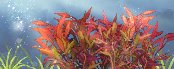 血心兰水草需要二氧化碳吗,需要阳光吗