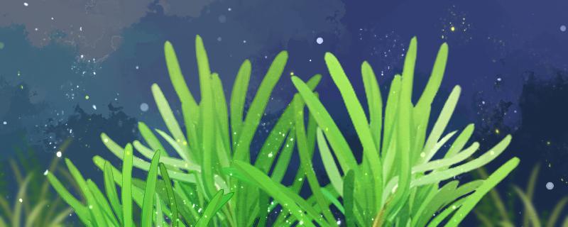 杜邦草水草好养吗,怎么养