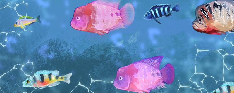 罗汉鱼能和什么鱼混养,混养注意事项介绍