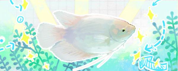 招财鱼怎么养长得快,吃什么长得快