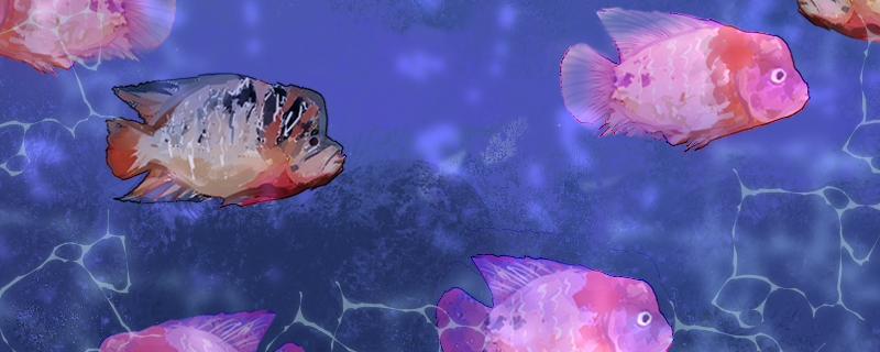 罗汉鱼有几个品种,怎么区分