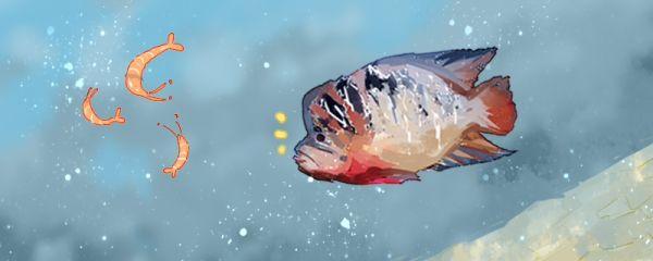 罗汉鱼怎么养,养罗汉鱼的注意事项
