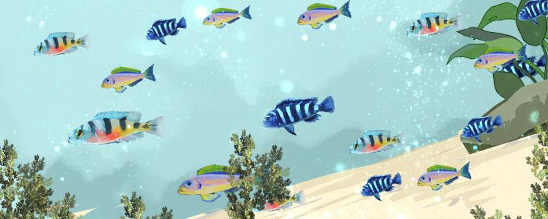 三湖慈鲷可以和什么鱼混养,不能和什么鱼混养
