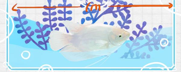 招财鱼能长多大,寿命有多长