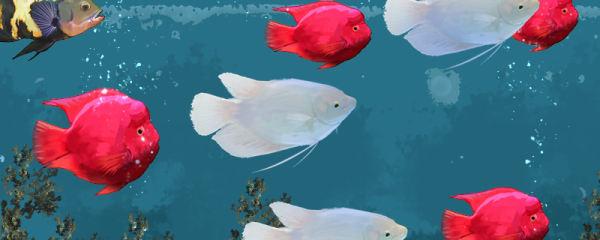 招财鱼和什么鱼混养好,能和锦鲤混养吗