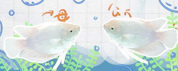 招财鱼怎么分公母,养公的好还是养母的好