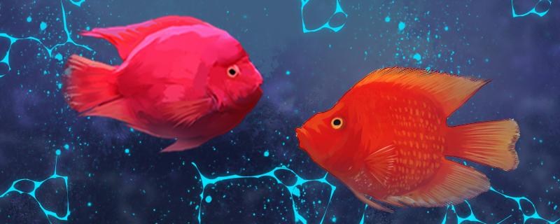财神鱼是鹦鹉鱼吗,和鹦鹉鱼的区别是什么
