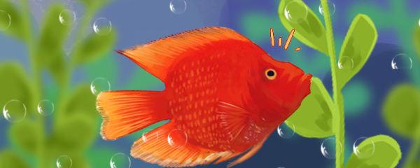 财神鱼几个月头起包,怎么养起头快