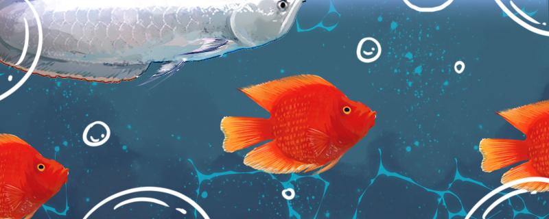 财神鱼能和什么鱼混养,能和锦鲤一起养吗