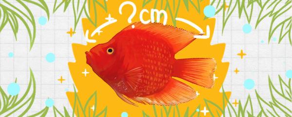 财神鱼寿命有多长,能长多大
