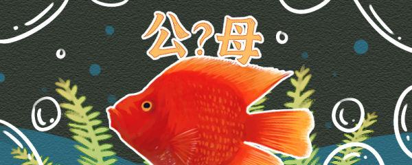 财神鱼怎么看公母,公母能混养吗