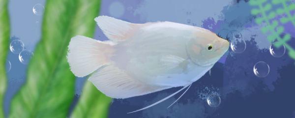 招财鱼怎么养不会死,招财鱼养殖技巧介绍