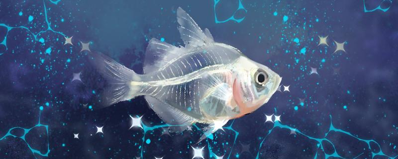 玻璃拉拉鱼好养吗,怎么养