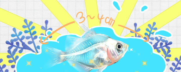 玻璃拉拉鱼能长多大,能活多久