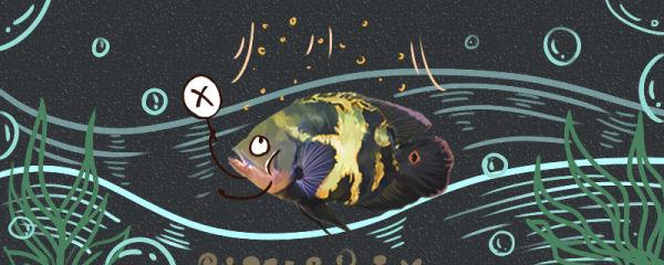地图鱼为什么不吃食,不吃食会饿死吗