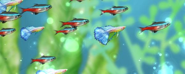 红绿灯鱼吃什么鱼食,多久喂一次