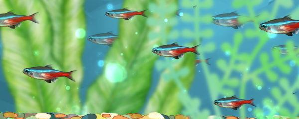 红绿灯鱼多大可以繁殖,繁殖需要什么条件
