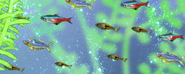 红绿灯鱼用什么水养,可以用自来水养吗