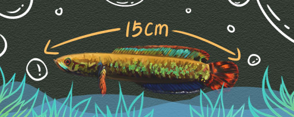 七彩雷龙鱼能长多大,能活多久