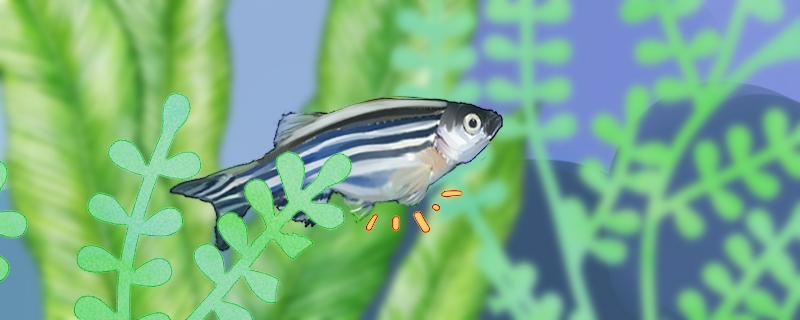 斑马鱼多大可以繁殖,多久繁殖一次