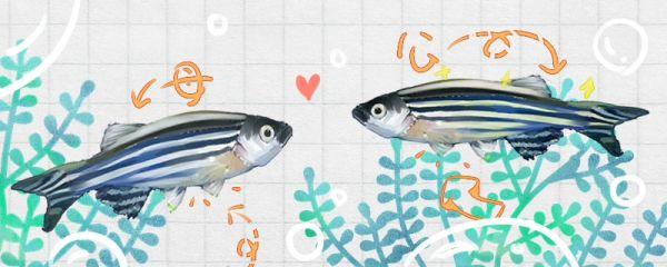 斑马鱼怎么分公母,公母能一起养吗