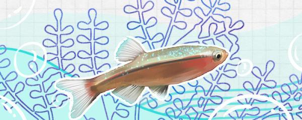 白云金丝鱼吃什么饲料,多久喂一次