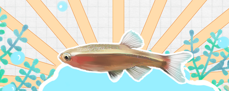 白云金丝鱼的寿命多长,能和什么鱼可以混养