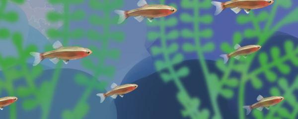 白云金丝鱼好繁殖吗,怎么繁殖