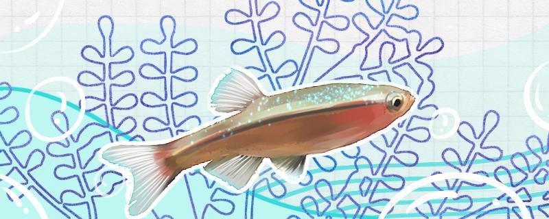白云金丝鱼好养么,怎么养