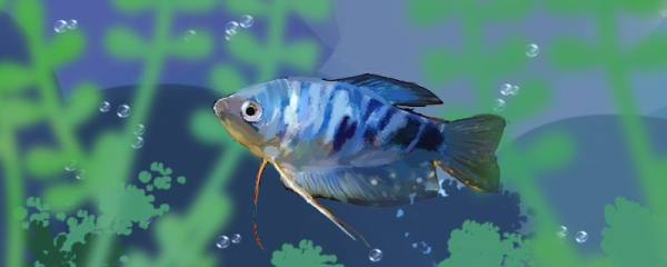 曼龙鱼能和什么鱼混养,能和孔雀鱼混养吗