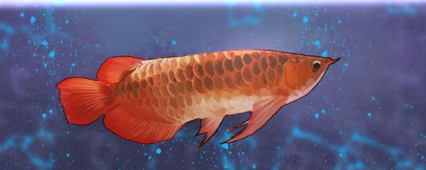 龙鱼的种类有哪些,什么种类比较小