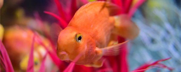 鹦鹉鱼能和什么鱼混养,不能和什鱼混养