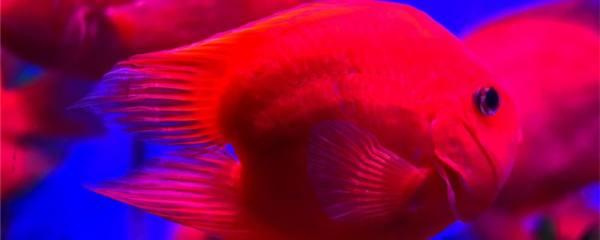 鹦鹉鱼能活几年,能长多大