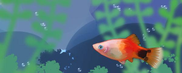米奇鱼怎么生小鱼,一次生多少小鱼