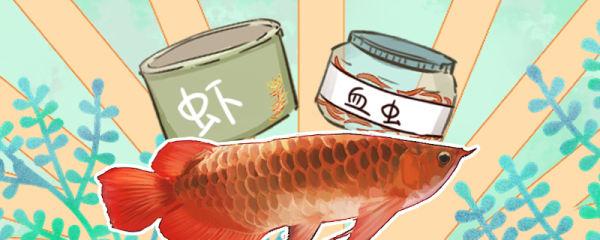 红龙鱼吃什么发色最好,多久喂一次饲料