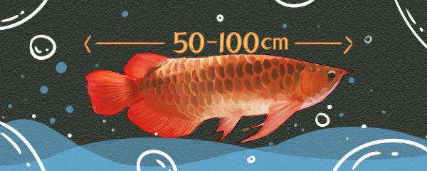 红龙鱼能长多大,寿命有多长时间