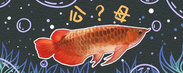 红龙鱼怎么分公母,公母能一起养吗