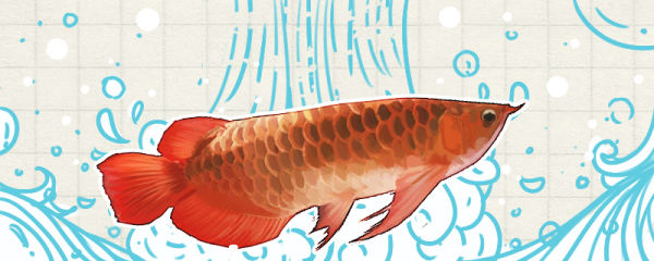 红龙鱼最佳发色温度是多少,什么环境中容易发色