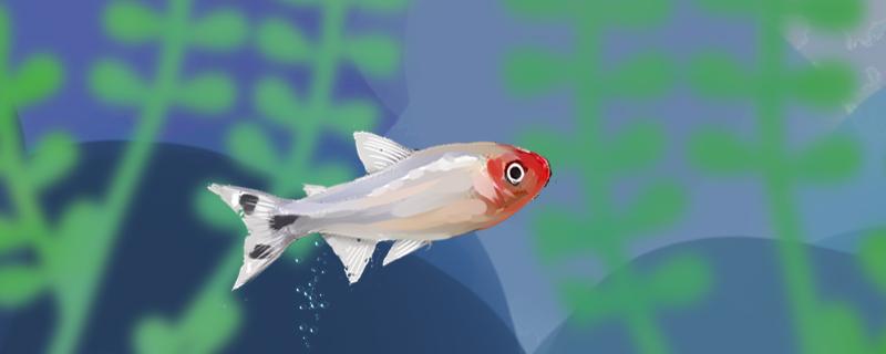 红鼻剪刀吃虾吗,每天要投喂几次